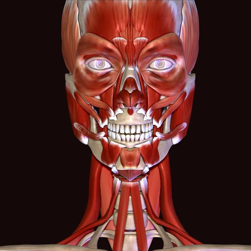 Ungewöhnlich Gesichtsmuskeln Diagramm Fotos - Menschliche Anatomie ...