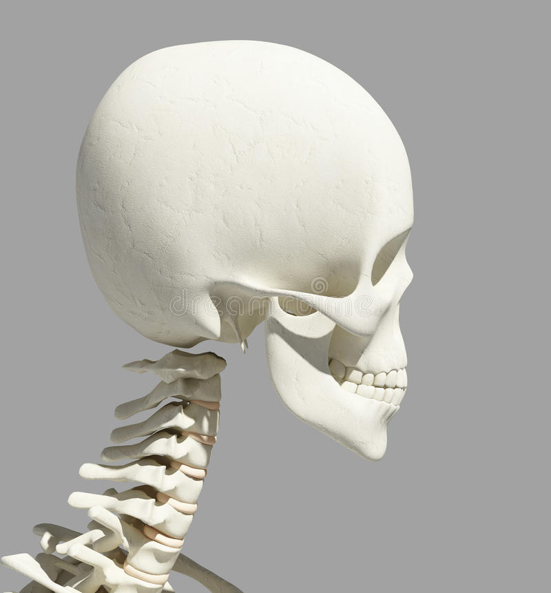 Fantastisch Schädel Für Anatomie Galerie - Menschliche Anatomie ...