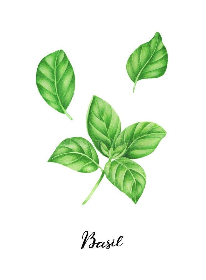 Illustration de basilic et de lettrage, peinture d'aquarelle illustration de vecteur