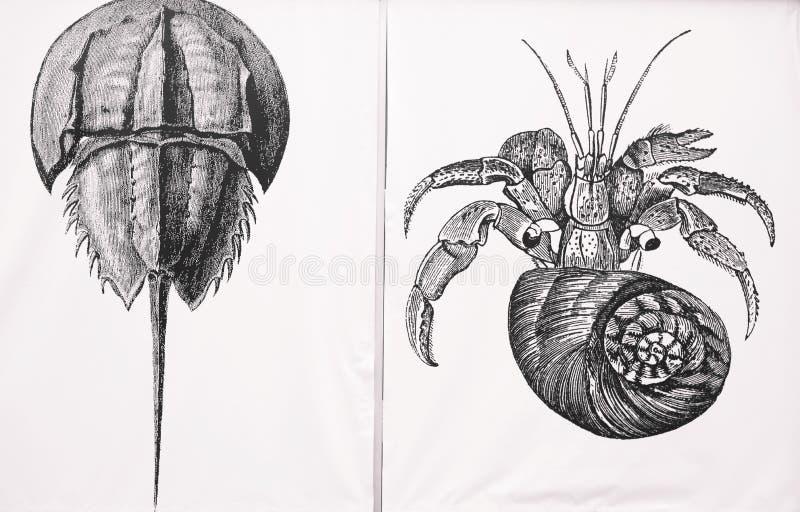 Illustration de bernard l'ermite et de crabe en fer à cheval photo libre de droits