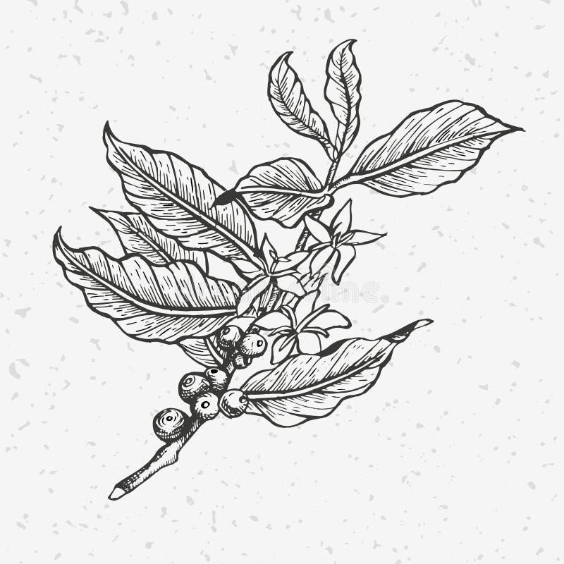 Illustration de caféier image libre de droits