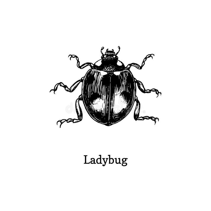 Illustration de coccinelle Insecte tiré en gravant le style Croquis de scarabée dans le vecteur photo stock