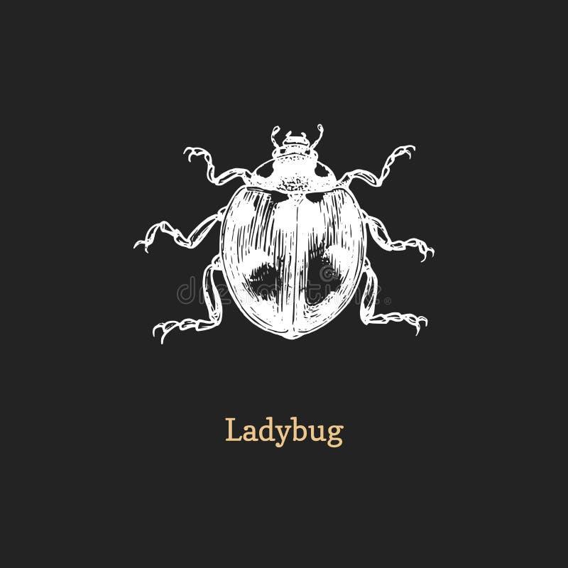 Illustration de coccinelle Insecte tiré en gravant le style Croquis de scarabée dans le vecteur photos stock