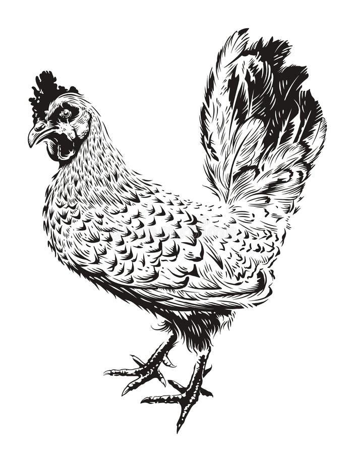 Illustration de coq de vecteur illustration stock