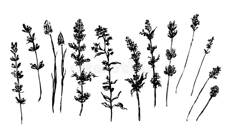 Illustration de croquis d'herbes de forêt et de pré illustration stock