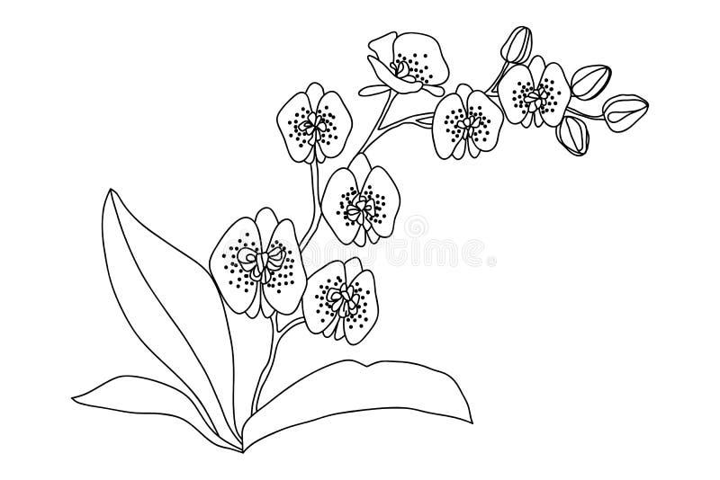 Illustration De Dessin De Fleur Dorchidée Noir Et Blanc