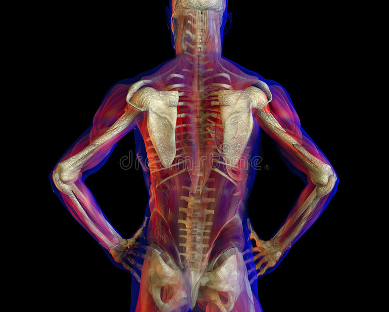 Illustration de dos et de squelette d'être humain illustration stock