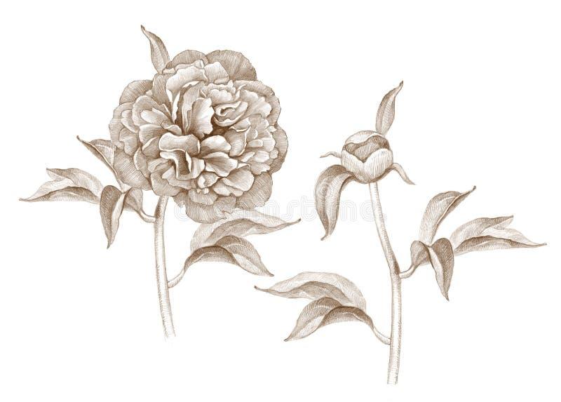 Illustration de fleur de pivoine illustration stock