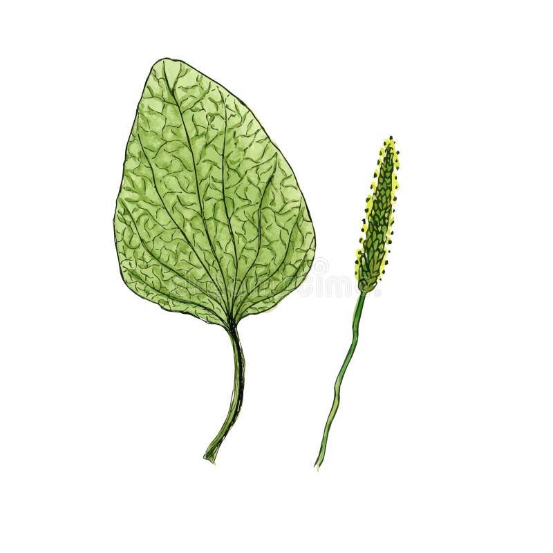 Illustration de fleur sauvage De fines herbes médical de plantain Effet d'aquarelle de vecteur illustration de vecteur