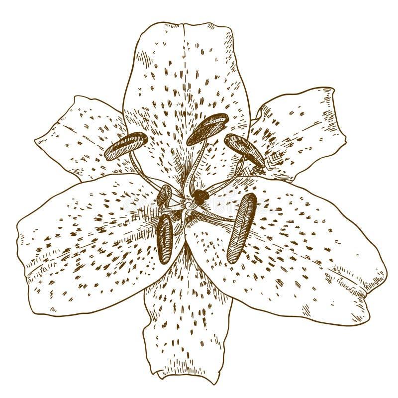 Illustration de gravure de fleur de lis tigré illustration stock