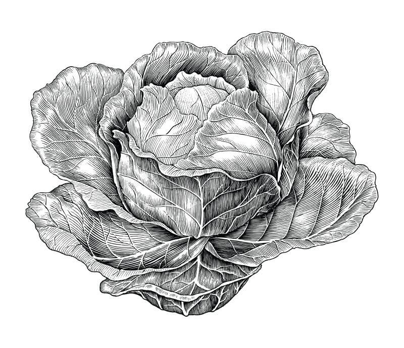 Illustration de gravure de vintage de dessin de main de chou illustration de vecteur