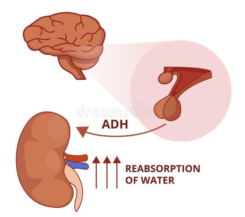 Illustration de la fonction d'hormone antidiurétique Physiologie de Vasopressin illustration stock