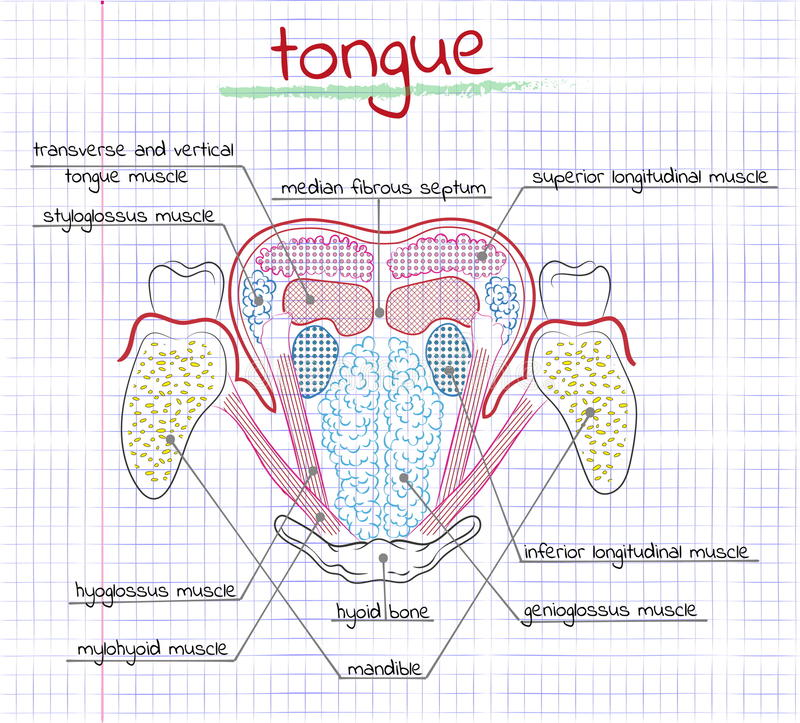 Illustration de la langue d'humain de structure illustration libre de droits