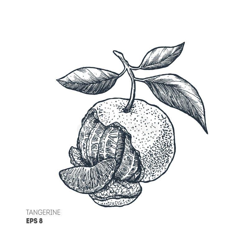 Illustration de mandarine Style gravé Illustration de vecteur illustration stock