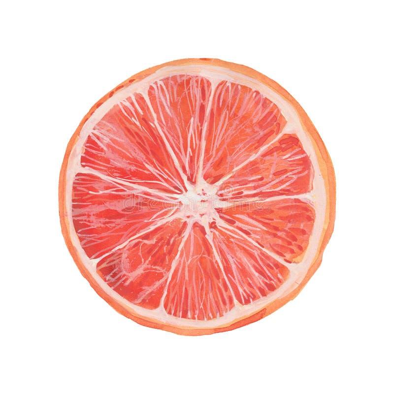 Illustration de pamplemousse d'aquarelle illustration de vecteur