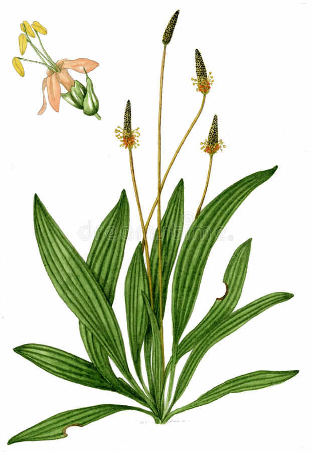 Illustration de plantain anglais illustration stock