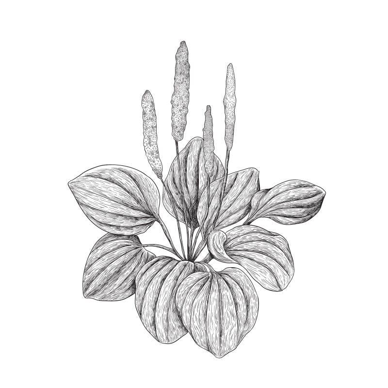 Illustration de plantain feuillu - noire et blanche illustration stock