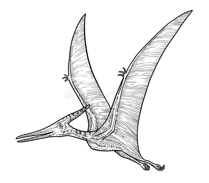 Illustration de Pteranodon, dessin, gravure, encre, schéma, vecteur illustration de vecteur