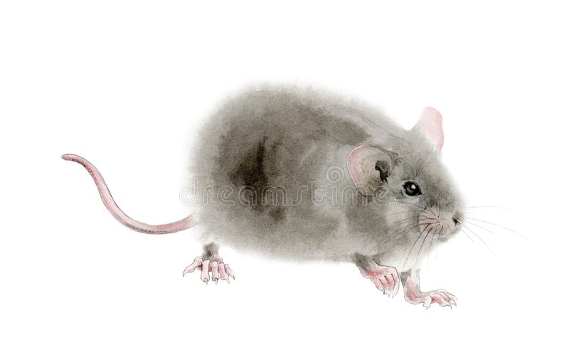 Illustration de rat de souris d'aquarelle Illustration tirée par la main d'un gris pelucheux mignon, isolaterd sur le fond blanc illustration libre de droits