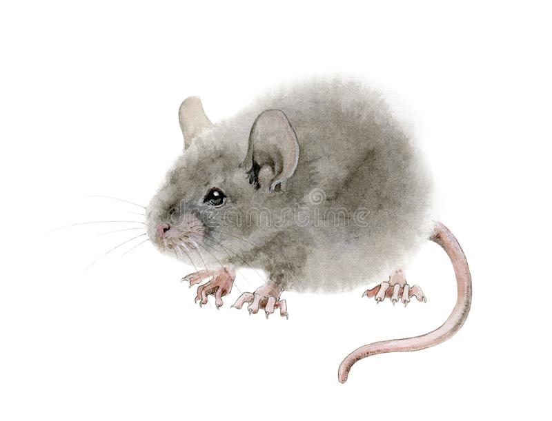 Illustration de rat de souris d'aquarelle Illustration tirée par la main d'un rat gris pelucheux mignon illustration de vecteur