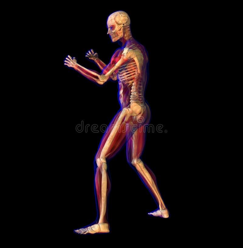 Illustration de rayon X de l'anatomie, squelette illustration de vecteur