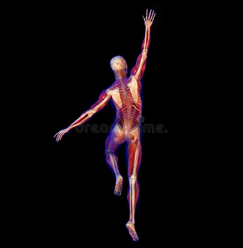 Illustration de rayon X de l'anatomie, squelette illustration stock