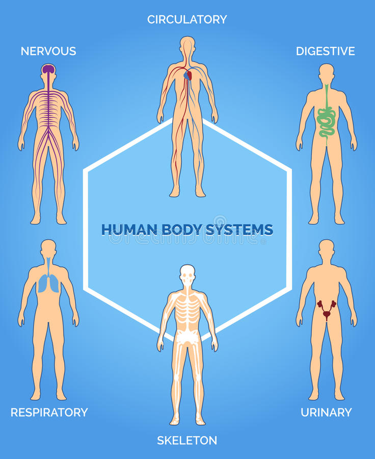 Illustration de systèmes de corps humain de vecteur illustration libre de droits