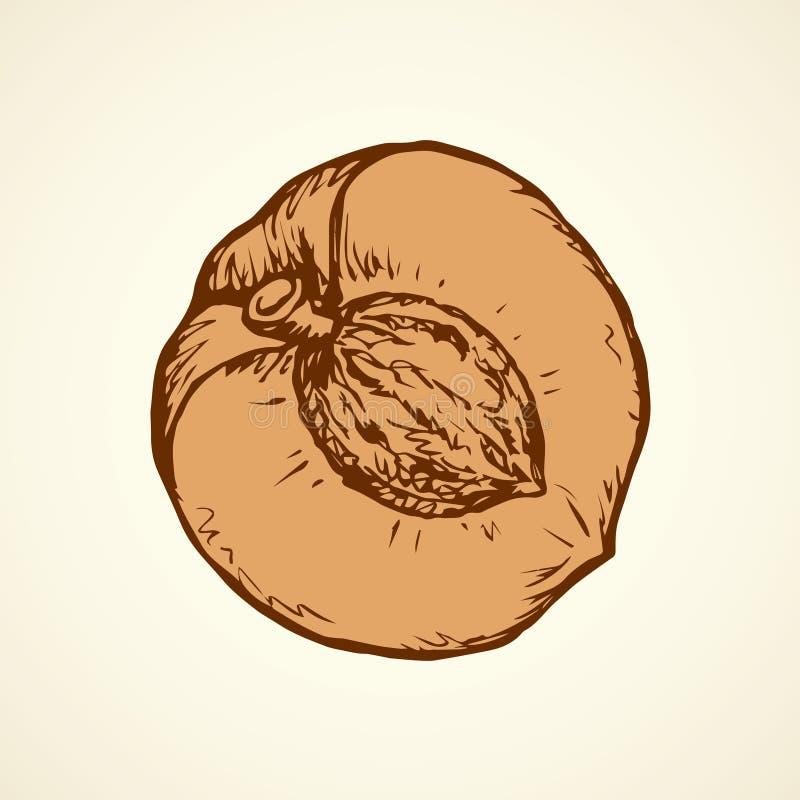 Illustration de vecteur abricot illustration de vecteur