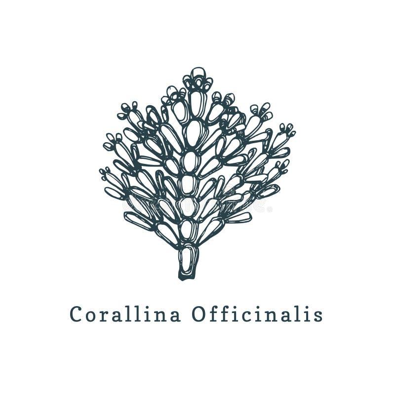 Illustration de vecteur de Corallina Officinalis Dessin d'algue rouge calcaire sur le fond blanc illustration libre de droits
