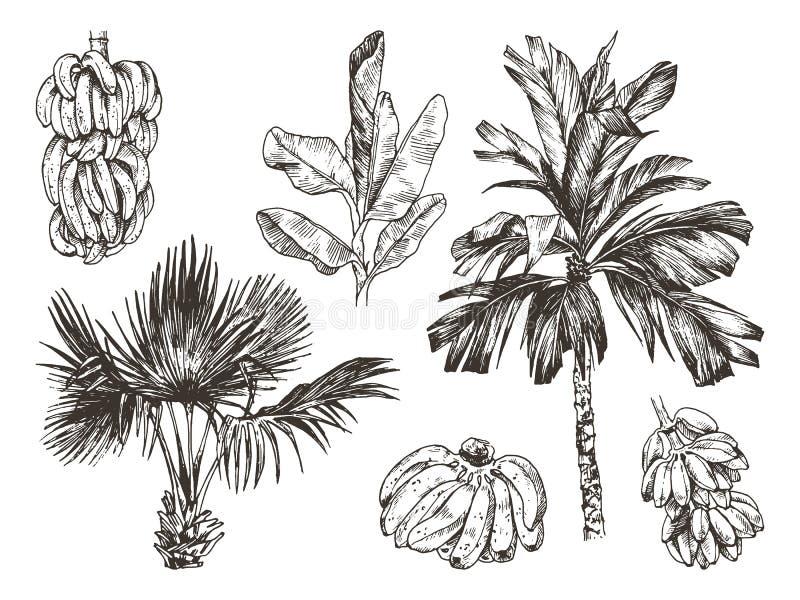 Illustration de vecteur de croquis de fruit de palmier et de banane pour la conception, site Web, fond, bannière Dessin de main f image stock