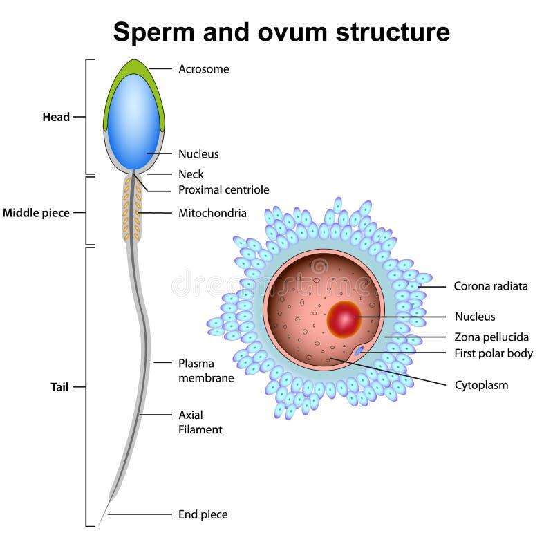 Illustration de vecteur d'anatomie de sperme et d'ovule d'isolement sur le fond blanc illustration de vecteur