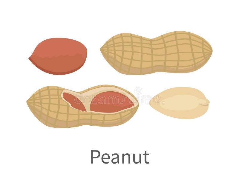 Illustration de vecteur d'arachide dans la conception plate de style illustration stock