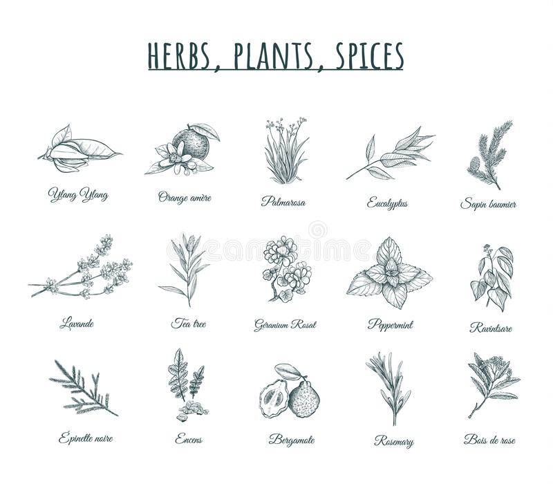 Illustration de vecteur d'herbes, de plantes et d'épices illustration stock