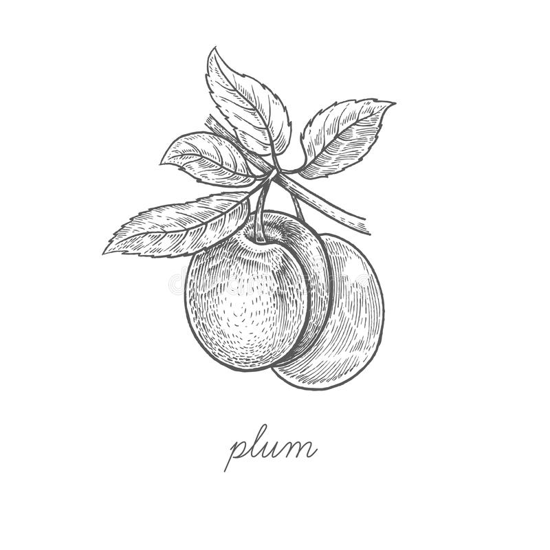 Illustration de vecteur de fruit de prune illustration stock