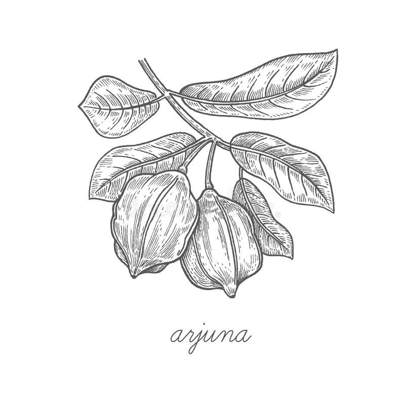 Illustration de vecteur de plante médicinale Arjuna illustration stock