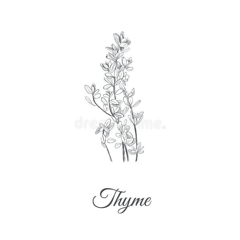 Illustration de vecteur de thym Thym illustration de vecteur