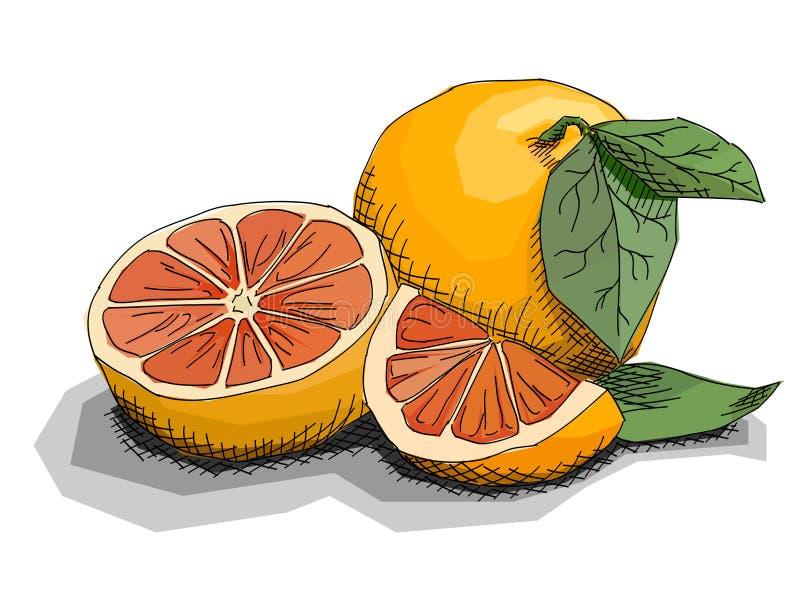 Illustration de vecteur des pamplemousses de fruit de dessin illustration de vecteur