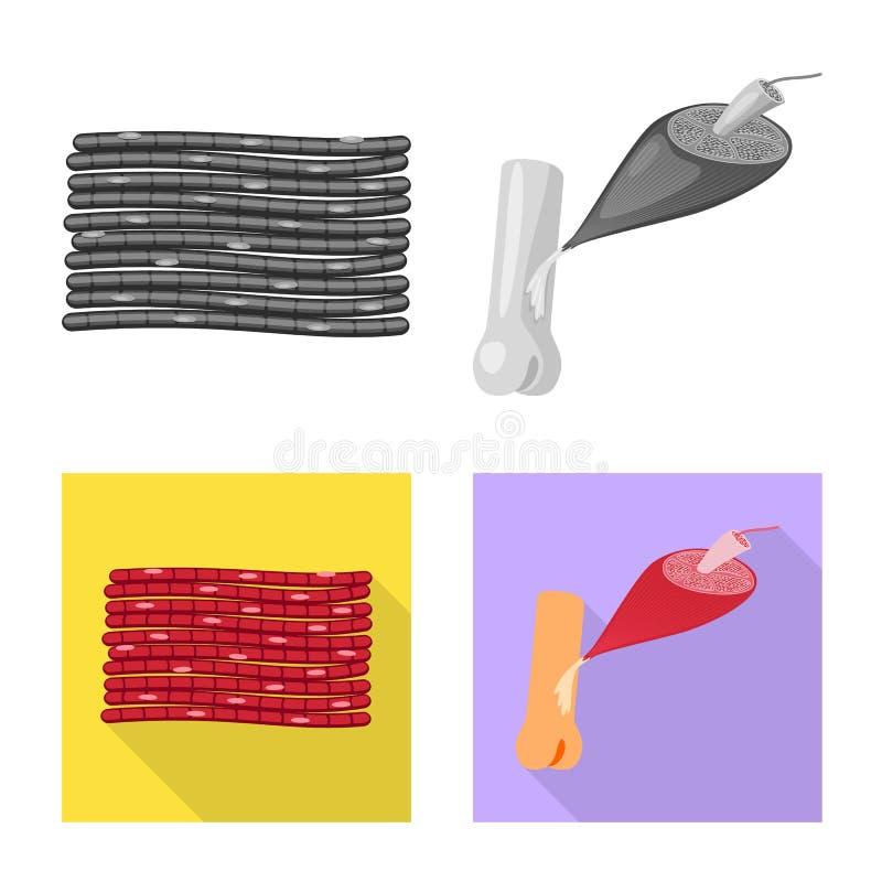 Illustration de vecteur de fibre et d'ic?ne musculaire Placez de l'ic?ne de vecteur de fibre et de corps pour des actions illustration stock