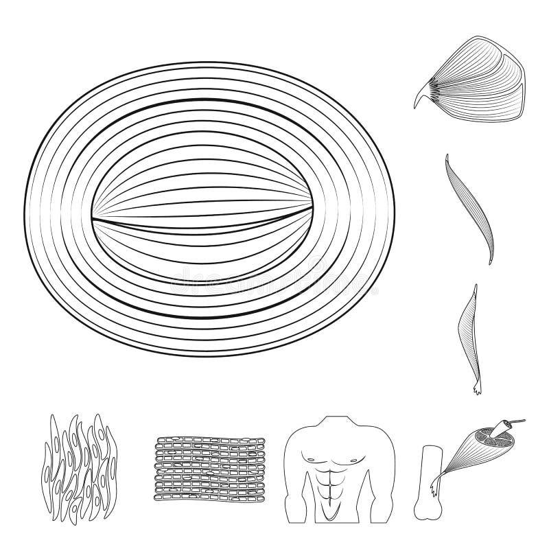 Illustration de vecteur de fibre et de symbole musculaire Placez du symbole boursier de fibre et de corps pour le Web illustration libre de droits