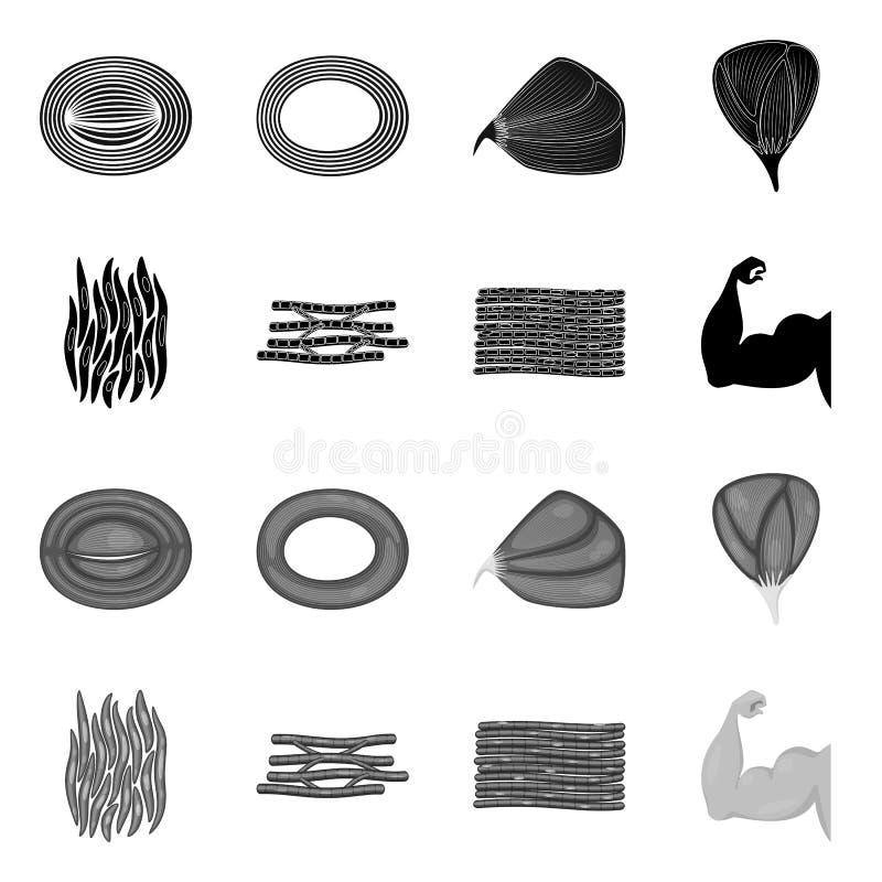 Illustration de vecteur de fibre et de symbole musculaire Placez de l'ic?ne de vecteur de fibre et de corps pour des actions illustration stock