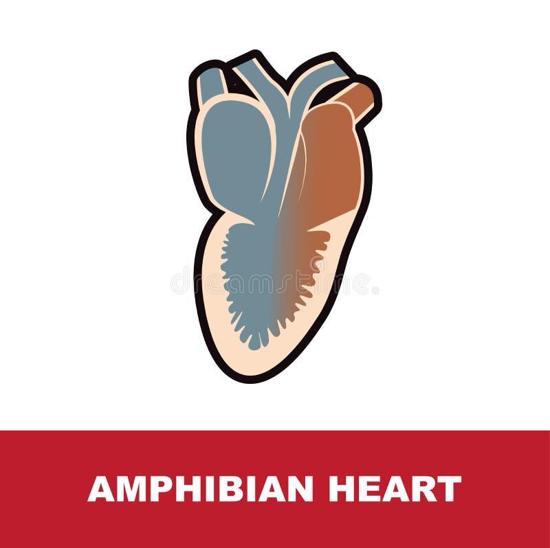 Illustration de vecteur de l'anatomie schématique amphibie de coeur illustration stock