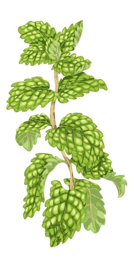 Illustration de vecteur de plan Brin en bon état avec les feuilles juteuses faites dans r illustration libre de droits