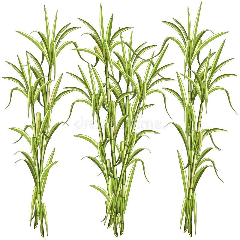 Illustration de vecteur de Sugar CaneSugar Cane Exotic Plant d'isolement sur le blanc illustration libre de droits