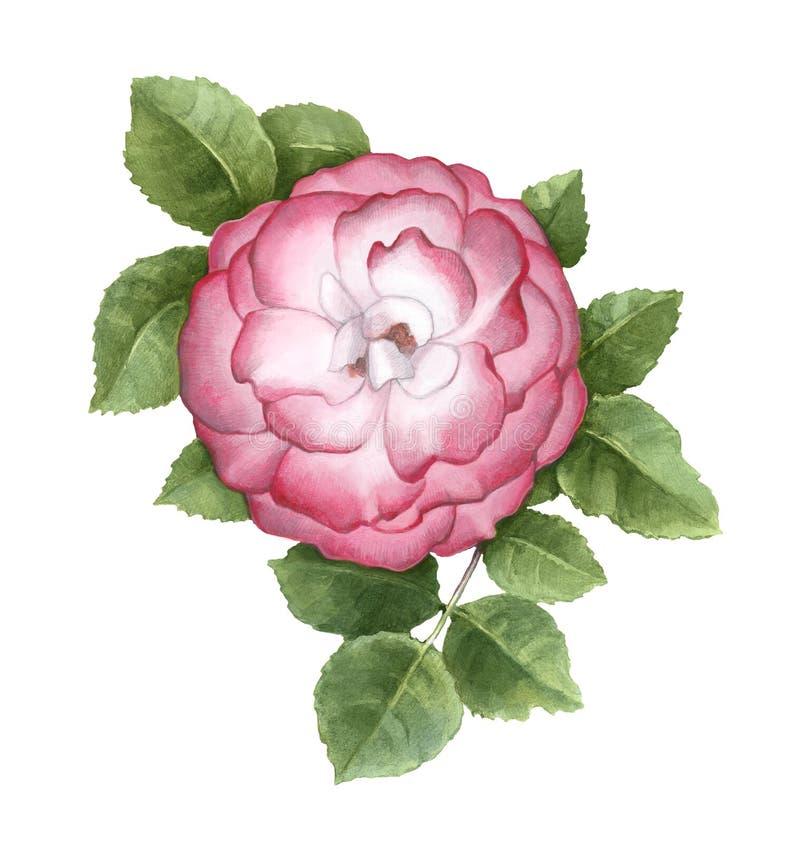 Illustration der Hunderosafarbenen Blume lizenzfreie abbildung