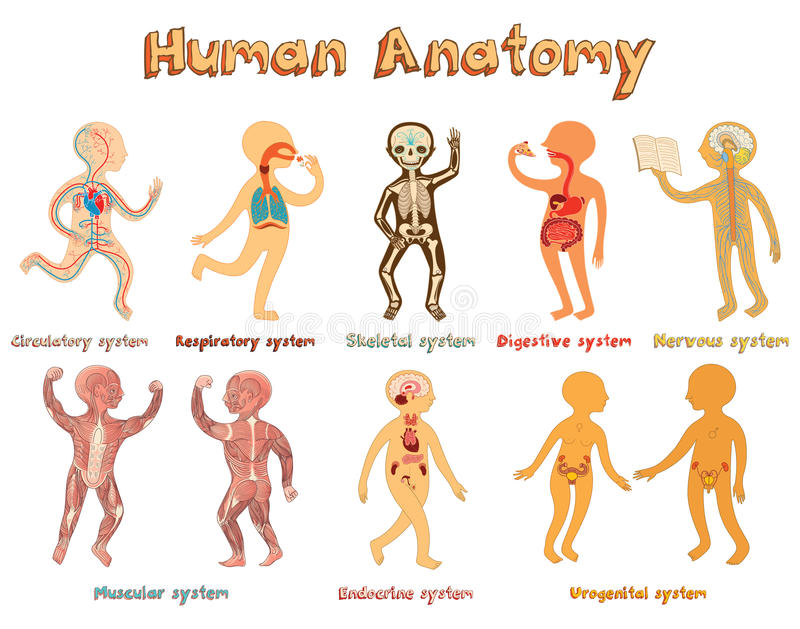 Illustration Der Menschlichen Anatomie, Systeme Von Organen Für ...