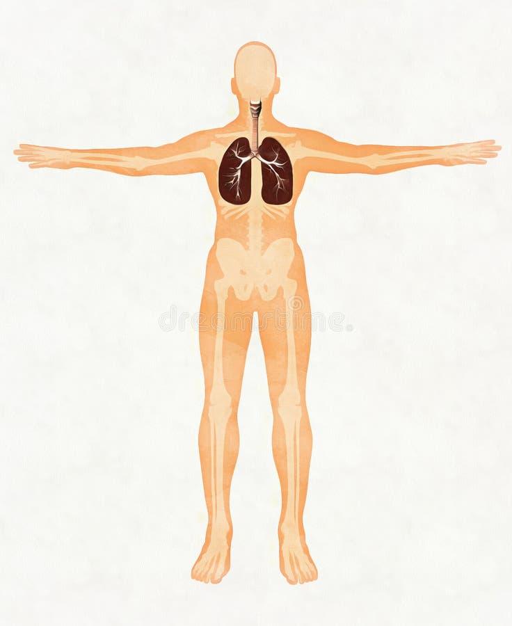 Ausgezeichnet Anatomie Des Menschlichen Atmungssystems Ideen ...