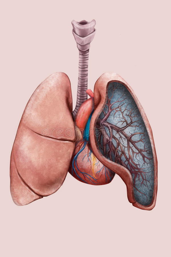 Illustration des poumons, de la trachée, des bronches et du coeur illustration stock