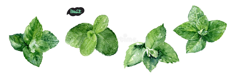 Illustration för blad för mintkaramell för vattenfärghand utdragen Isolerat på vit arkivfoton