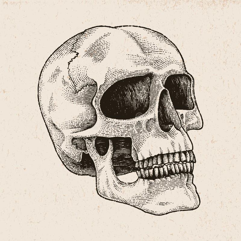 Illustration för gravyr för skallehandteckning på tappningbakgrund stock illustrationer