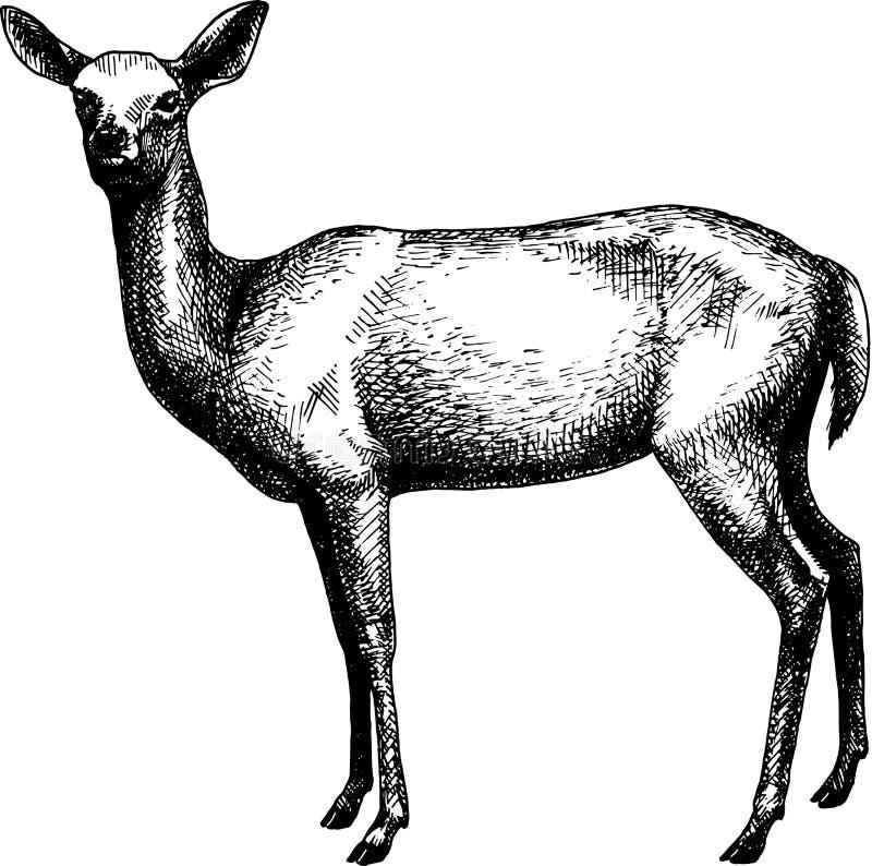 Illustration för hand för tappning för hjortkvinnlig A utdragen vektor illustrationer
